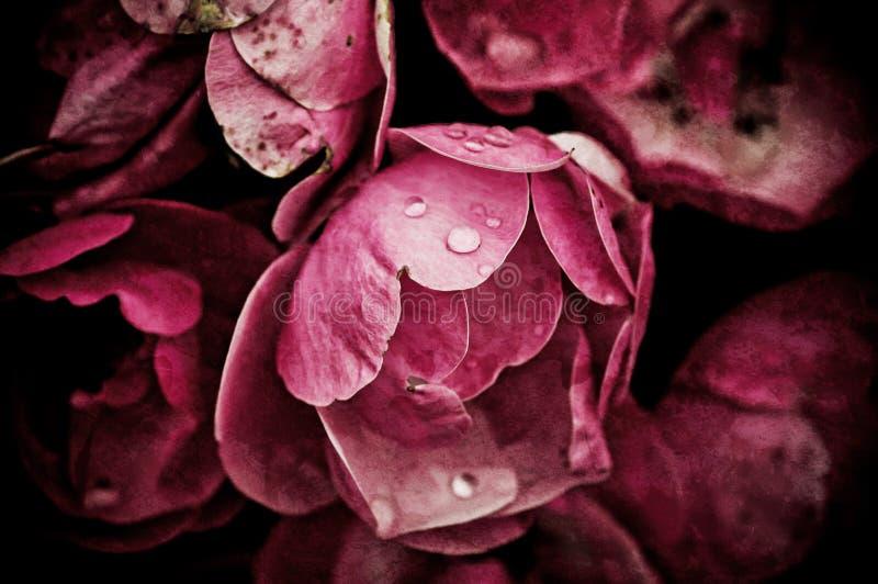 Peonia kwiaty zdjęcia royalty free