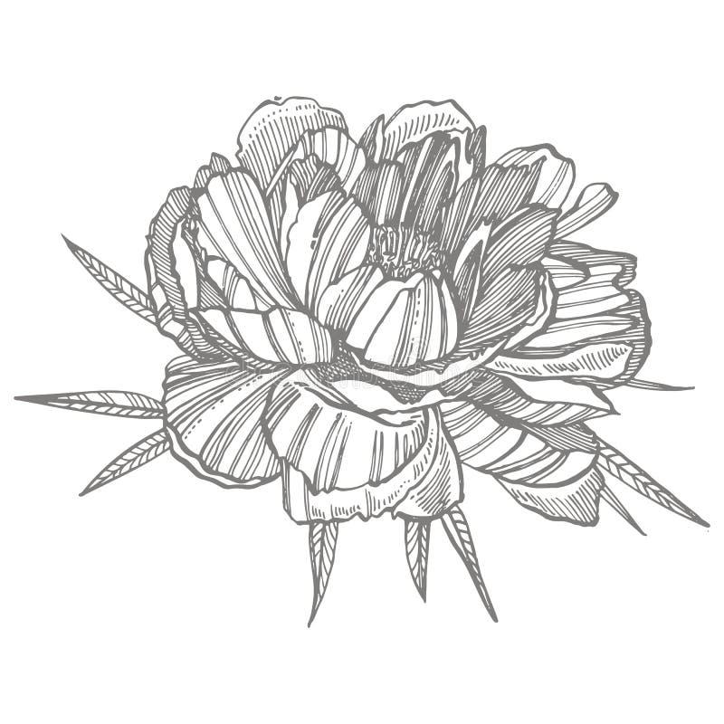 Peonia li?ci i kwiatu rysowa? Ręka rysujący grawerujący kwiecisty set Botaniczne ilustracje Wielki dla tatuażu, zaproszenia ilustracja wektor