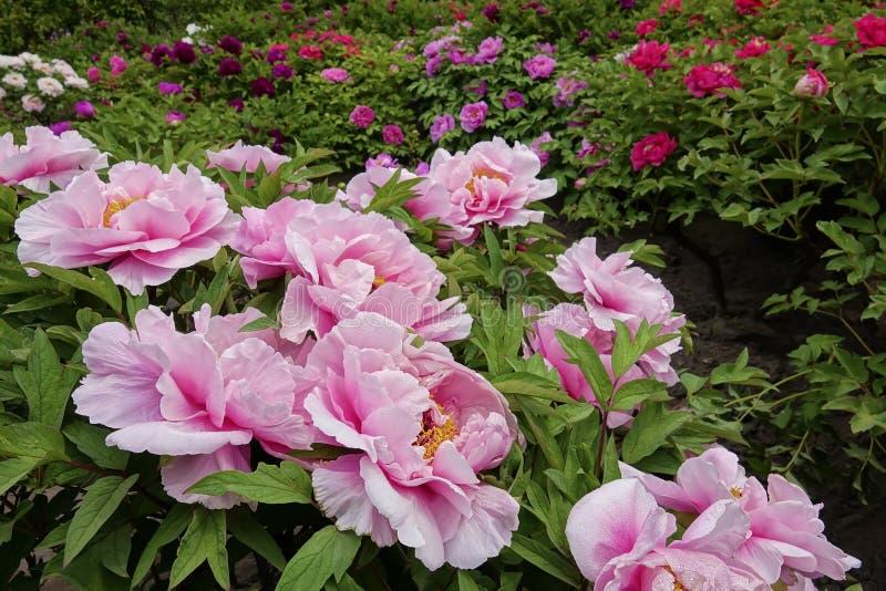 Peonia ogród fotografia stock