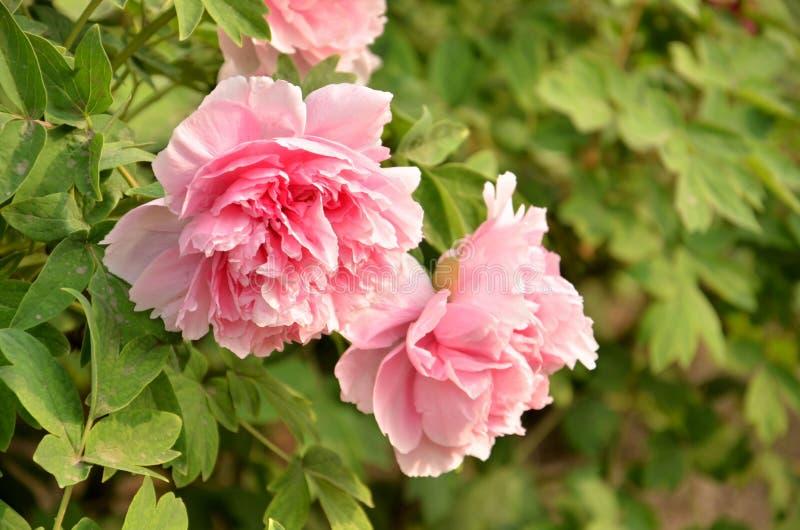 Peonia rosa immagini stock libere da diritti