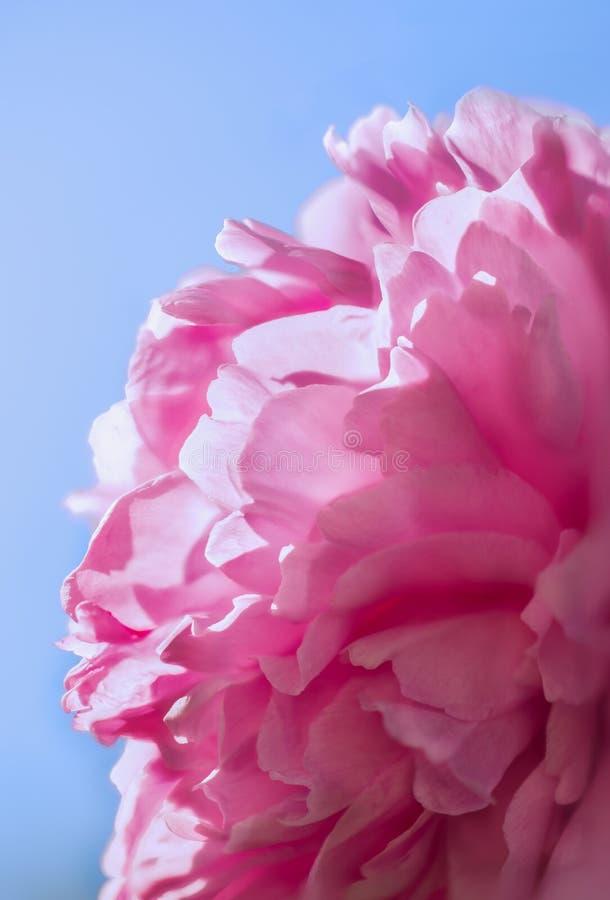 Peonia rosa immagine stock