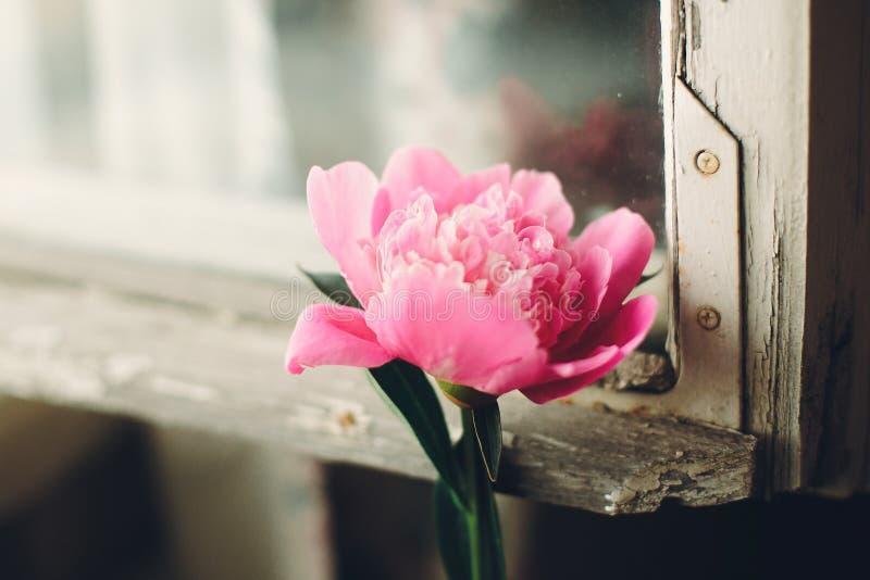 Peonia rosa adorabile alla vecchia finestra di legno bianca rustica alla luce, PS immagini stock