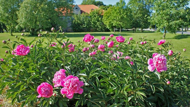 Peonia rosa Bush fotografie stock