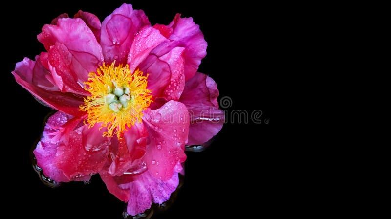 Peonia rosa con il centro giallo fotografia stock libera da diritti