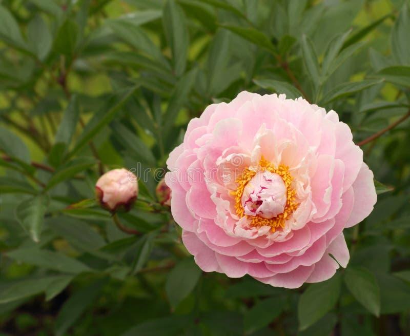 Peonia rosa dell'offerta fotografie stock