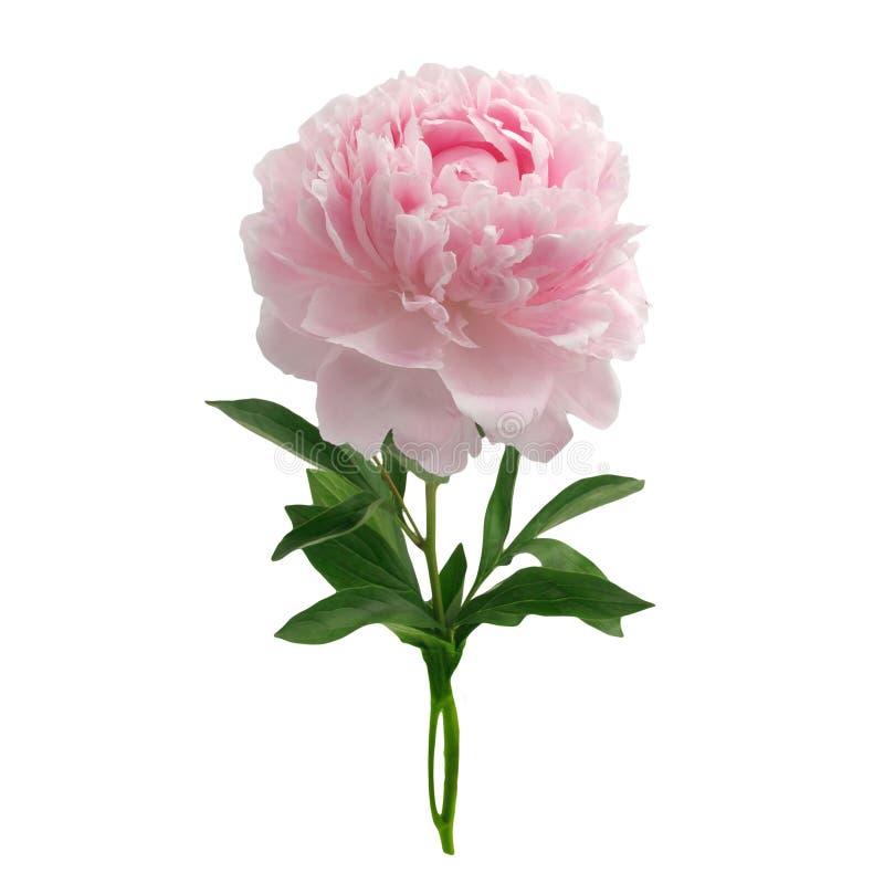 Peonia rosa isolata su fondo bianco fotografia stock