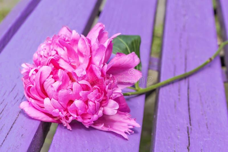 Peonia rosa su un banco porpora immagini stock libere da diritti