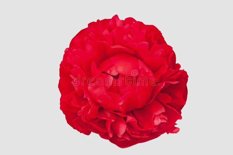 Peonia rossa su un fondo bianco isolato immagini stock