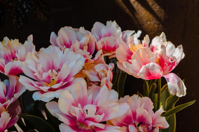 Peonie bianche e rosa in fioritura a Frederik Meijer Gardens a Grand Rapids Michigan fotografia stock
