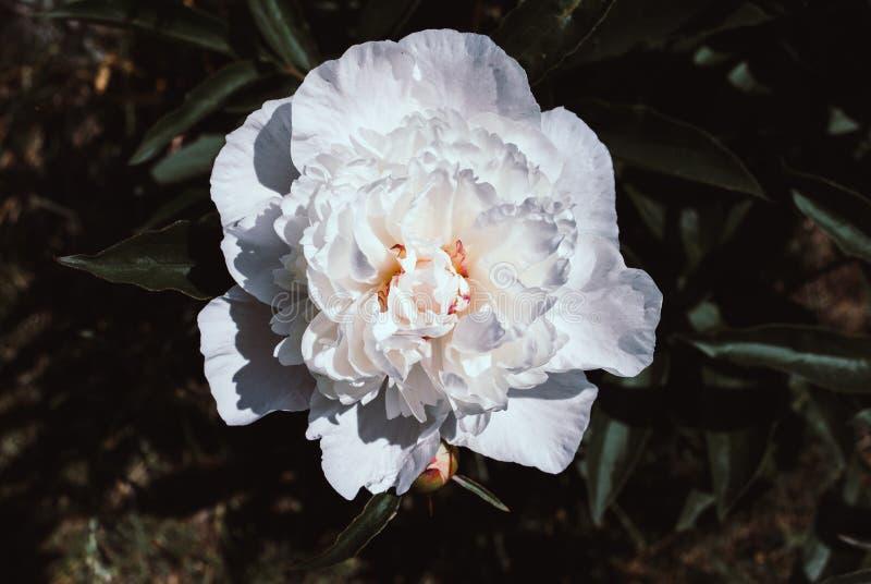 Peonie di fioritura in un letto di fiore fotografia stock libera da diritti
