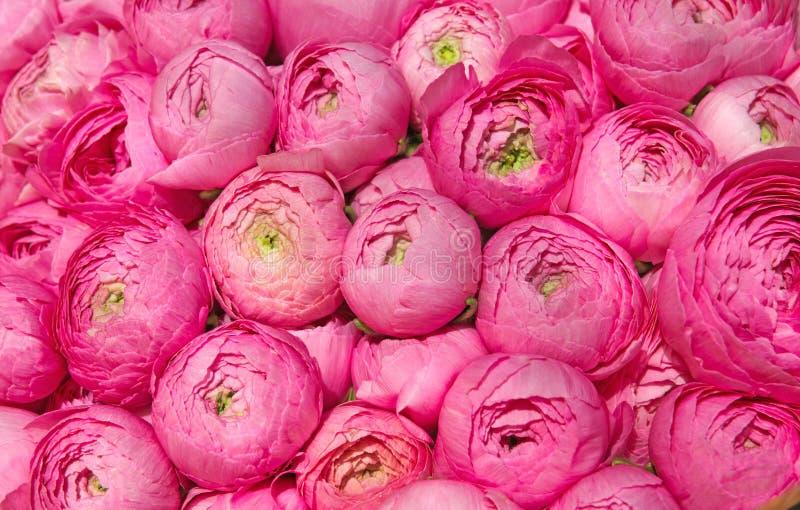 Peonie rosa fotografia stock libera da diritti