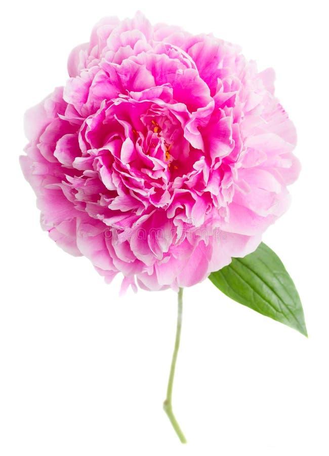 Download Peonie rosa fotografia stock. Immagine di immagine, amore - 55351540