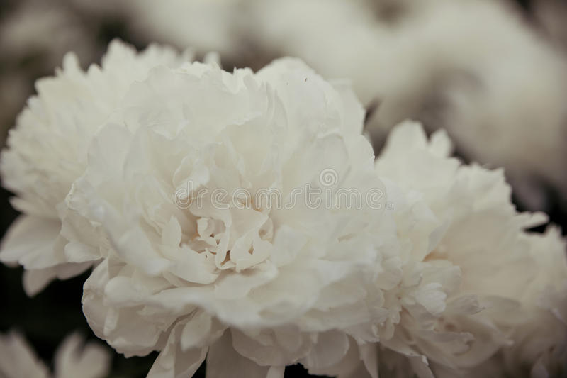 peonies λευκό στοκ εικόνα με δικαίωμα ελεύθερης χρήσης