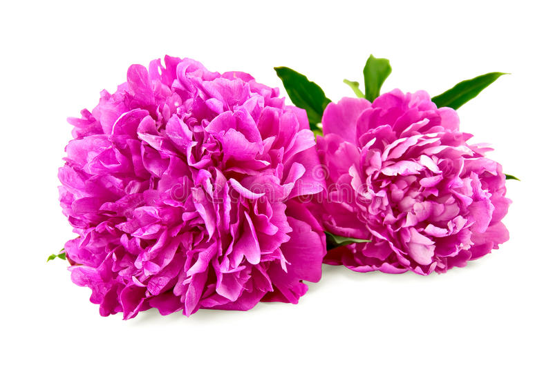 Peonies. Two bright pink peonies with green leaf with a light shade on white background stock photography