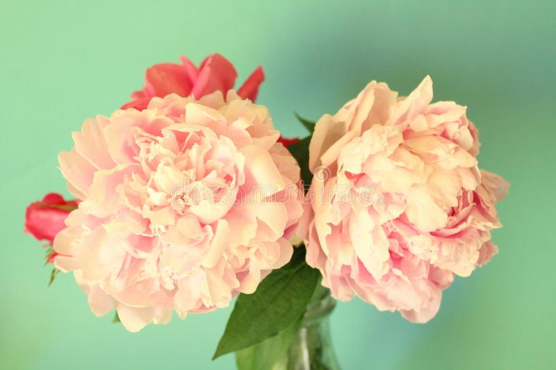 Peonies. Beautiful peonies with clear background stock photos