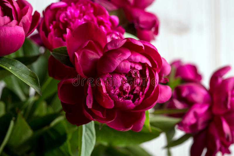 Peonies. Beautiful pink peonies close up royalty free stock photography