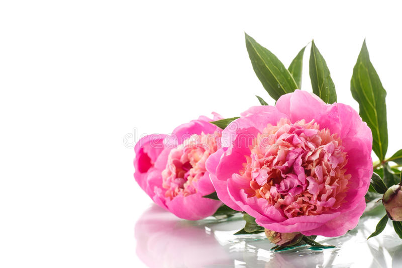 Peonies. Beautiful pink peonies on a white background stock photos
