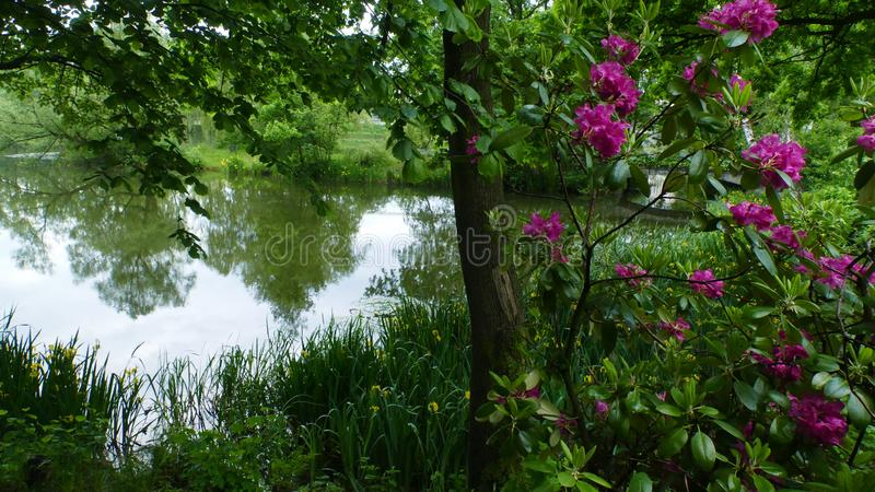 Peonies blooming at the pond.  royalty free stock photo