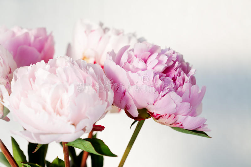 Peonies. Bouquet of beautiful pink peonies stock photography