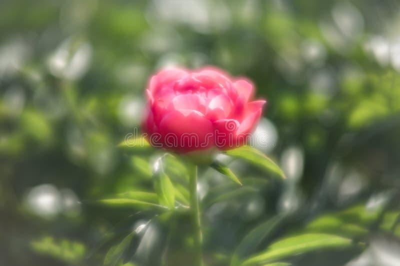 Peonies cor-de-rosa no jardim imagens de stock royalty free