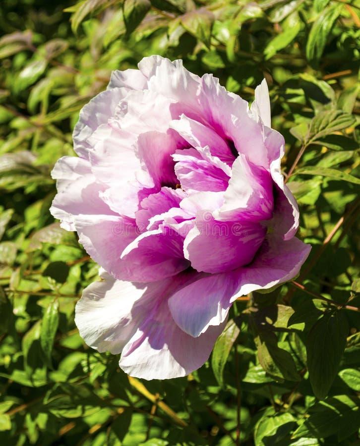 peonies Florece peonies Arbusto floreciente de la peonía rosada del árbol fotografía de archivo libre de regalías