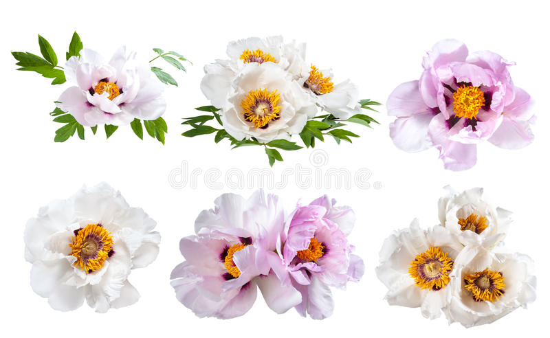 Peonies flower isolated royalty free stock photos