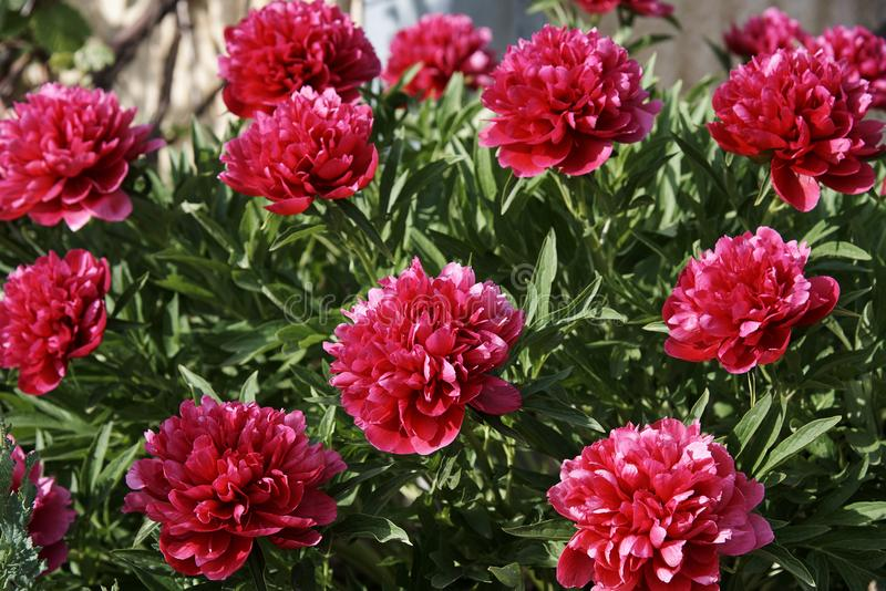 peonies flowers stock image