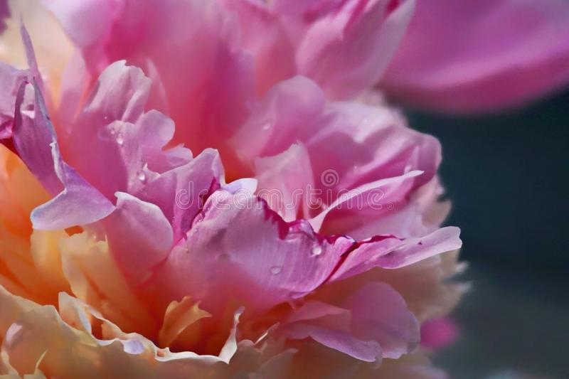 Peonies stock images