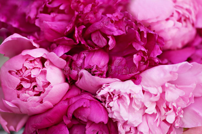 Peonies flowers. Pink Peonies background close up stock images