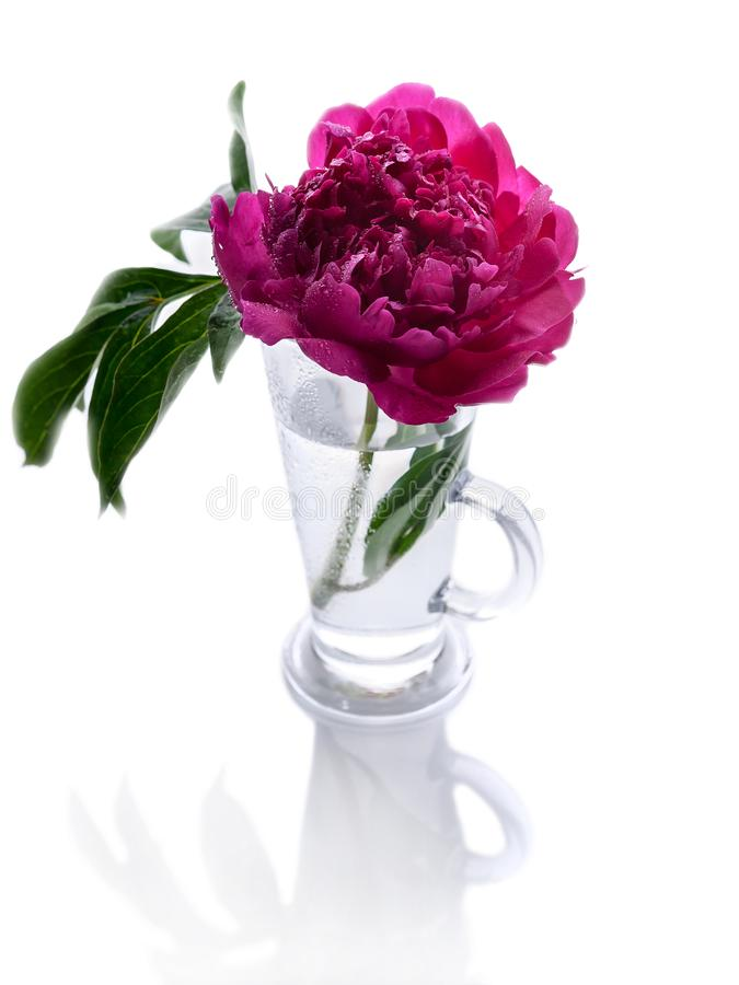 Peonies in a glass vase isolated on white background. Romantic gift. Vertical shot stock image