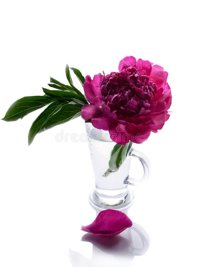 Peonies in a glass vase isolated on white background. Romantic gift. Vertical shot royalty free stock photos