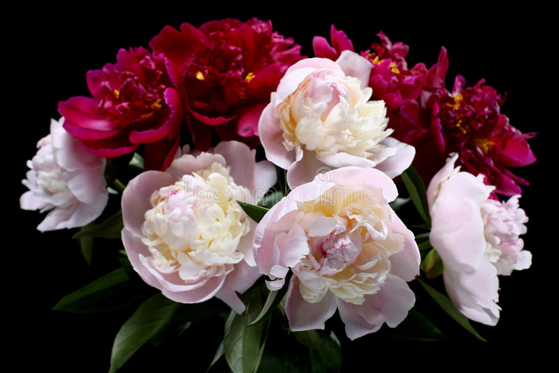 Peonies isolated on black. Background stock images