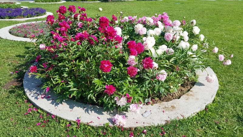 Peonies in a park. Abundant blooming peonies flowers bush royalty free stock photography
