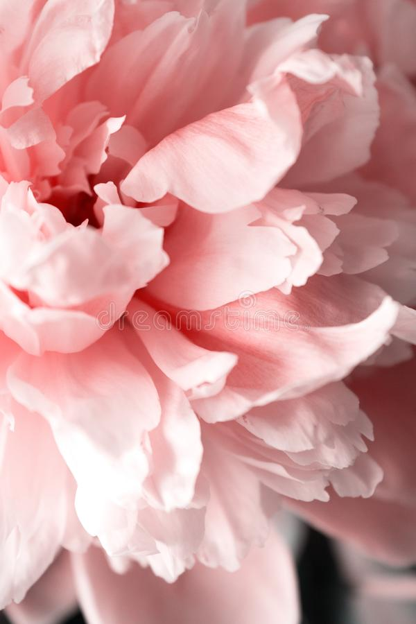 Peonies peony pink beautiful petals flowers coral royalty free stock photography