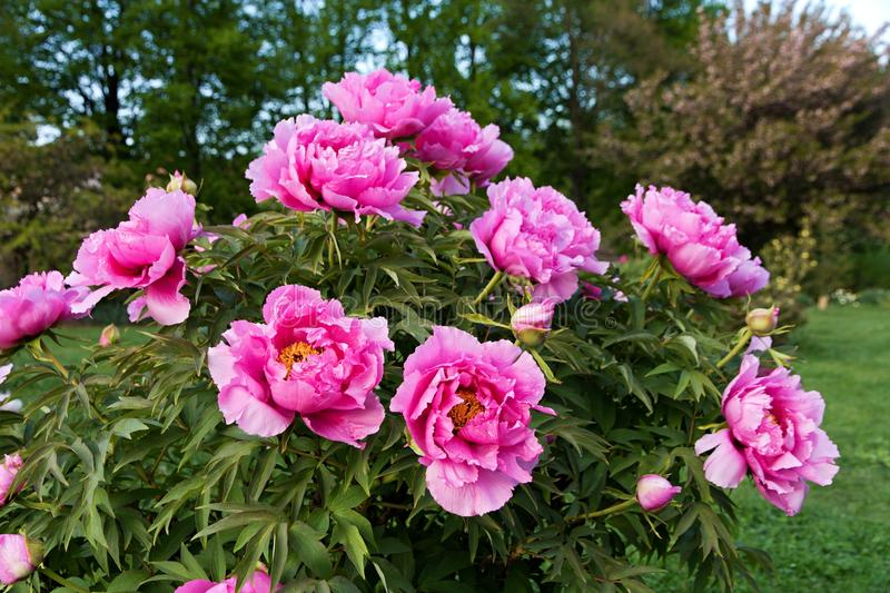 Peonies. Pink peonies in the garden royalty free stock image