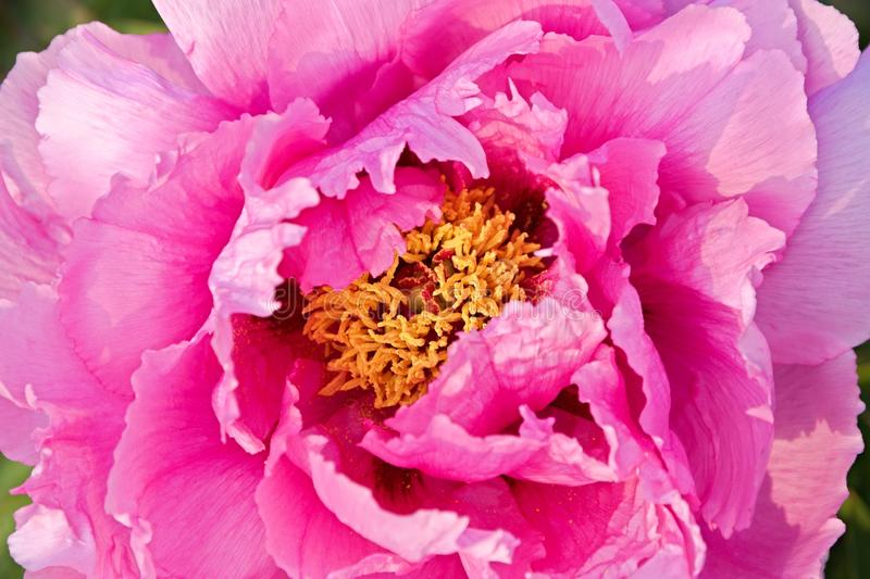 Peonies. Pink peonies in the garden, peony flower detail royalty free stock photography