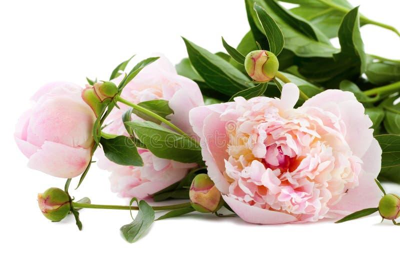 Peonies rosados hermosos imágenes de archivo libres de regalías
