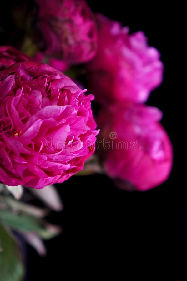 Peonies Still Life stock images