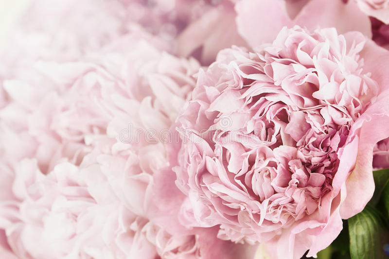 Peonies and Sunlight. Beautiful toned pink peonies in the sunlight. Extremely shallow depth of field with selective focus on flower in foreground royalty free stock photography