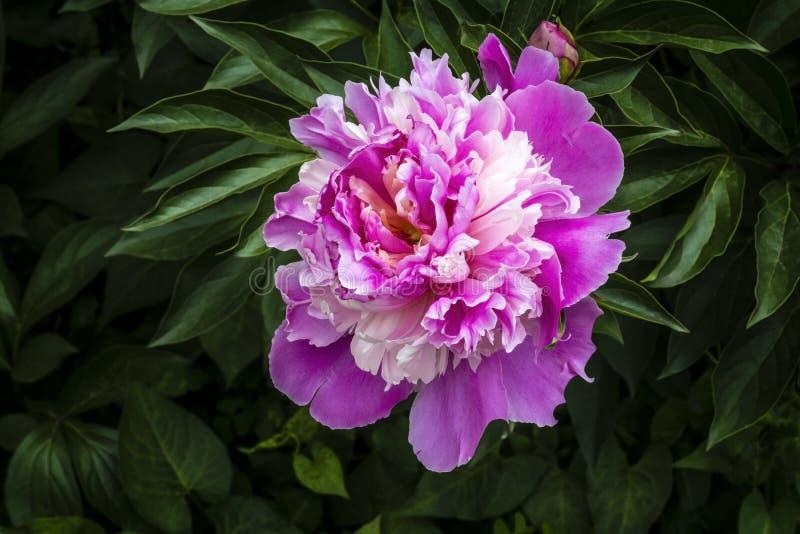 peony λευκό λουλουδιών ανασκόπησης στοκ εικόνες με δικαίωμα ελεύθερης χρήσης