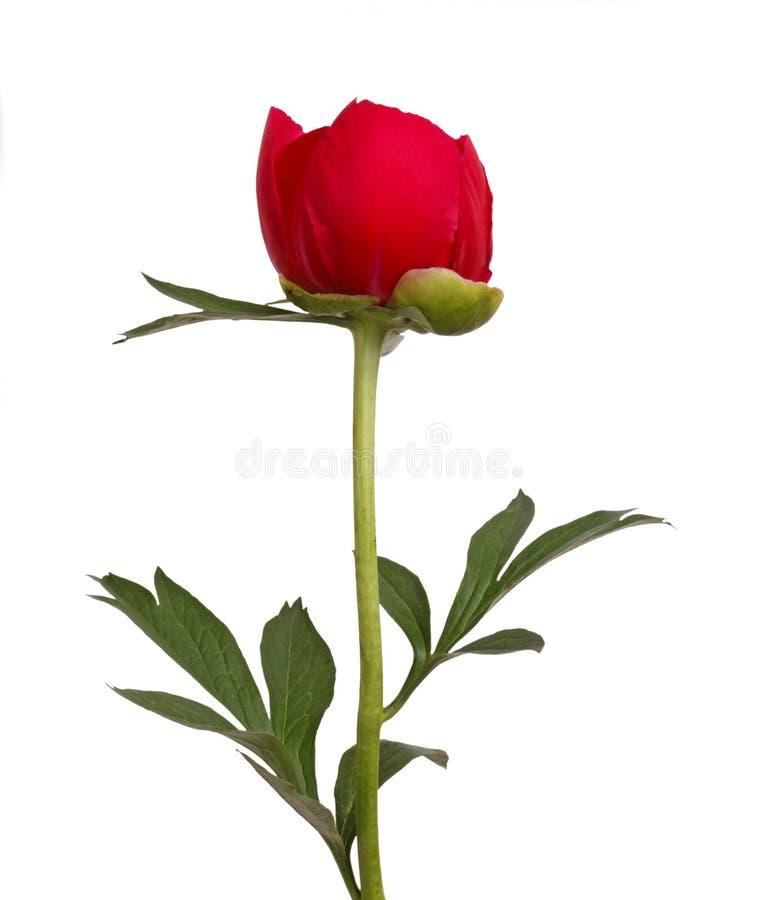 peony κόκκινος μίσχος λουλουδιών στοκ φωτογραφία