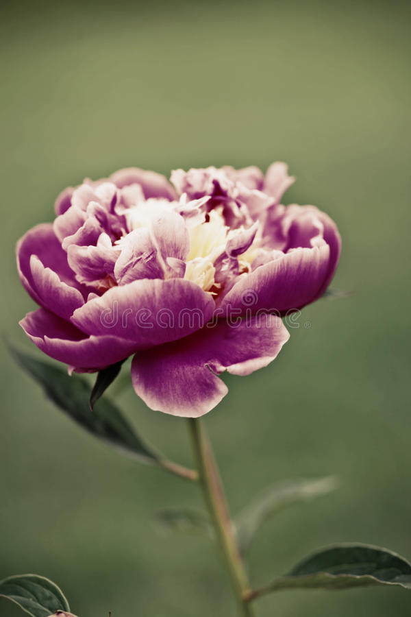 Download Peony stock photo. Image of processing, gentle, blossom - 19950132