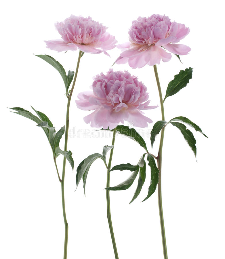 Download Peony stock image. Image of flower, three, bloom, floral - 24793153