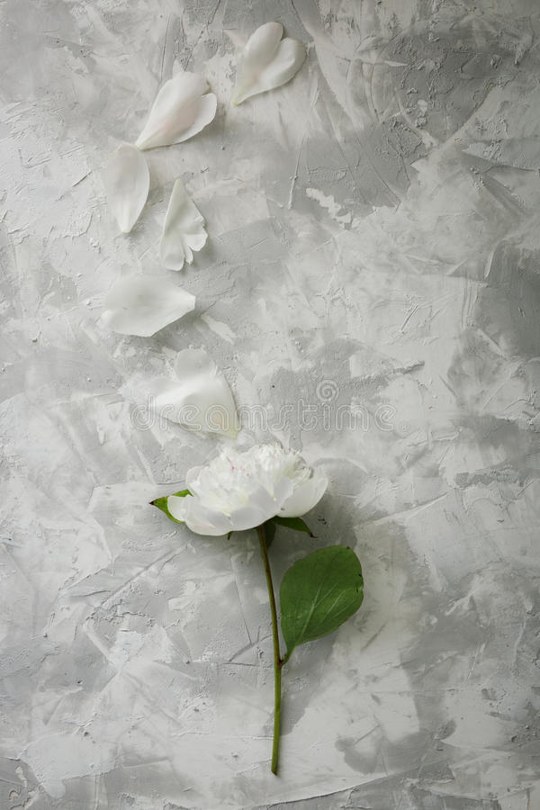 Peony on a background of marble, photographed in the daytime. stock photography