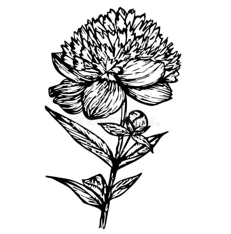Peony black outline royalty free illustration