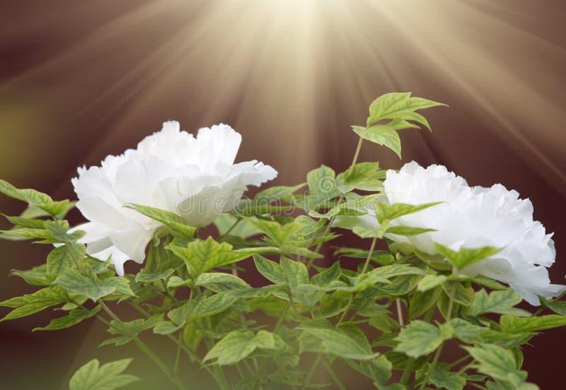 Peony blanco en sol imágenes de archivo libres de regalías