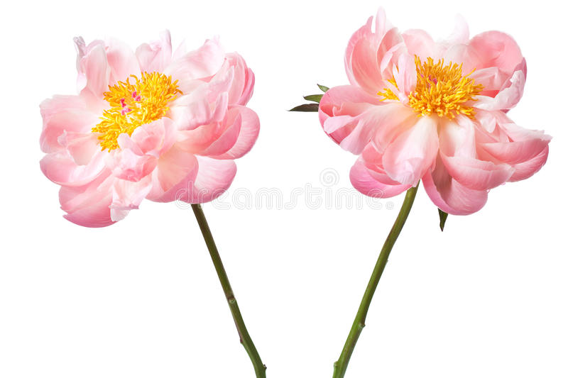 Peony Blossom isolated on a white background royalty free stock photos