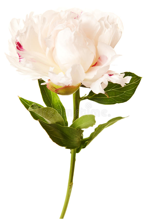 Download Peony Blossom Isolated On A White Background Stock Image - Image of petals, peonies: 16299309
