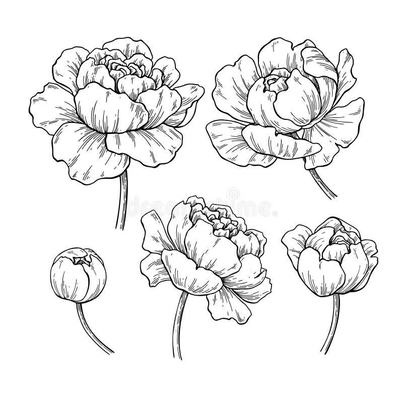 Peony botanical drawing. Vector hand drawn engraved flower set. royalty free illustration