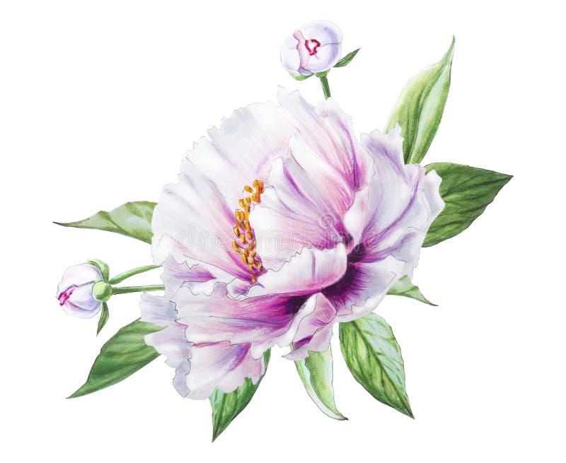 Peony branco bonito Ramalhete das flores C?pia floral Desenho do marcador ilustração do vetor